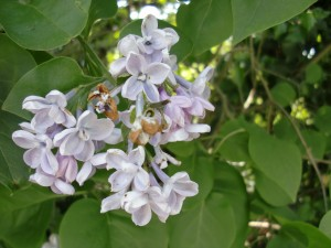 Isis Towpath_lilac