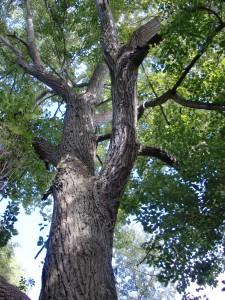 AShton's Eyot - poplar