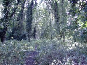 Ashton's Eyot - woods