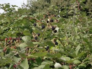 Ashton's eyot - blackberries4