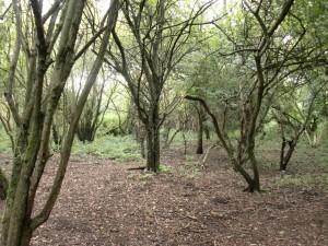 Aston's Eyot - creepy thicket
