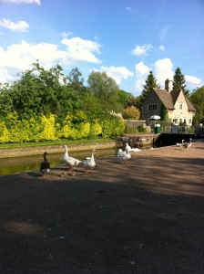 Iffley Towpath_Geese