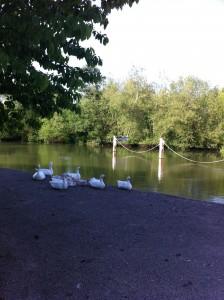 Iffley geese