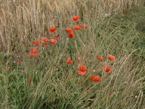 20 July_poppies